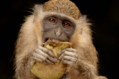 Vervet Monkey with Lunch