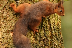 Red Squirrel climbin