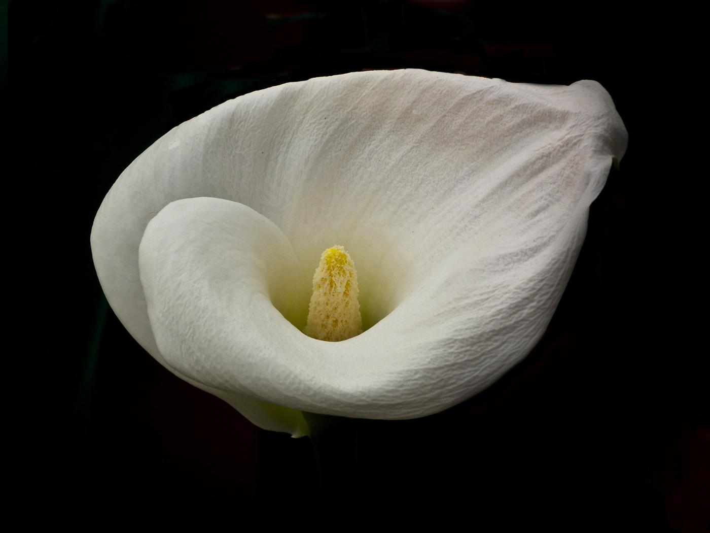 CCC108_Zantedeschia lilie
