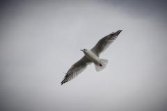 Herring Gull 2