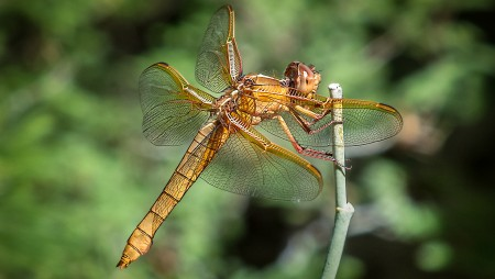 Libellula Saturata (Dragonfly)  KeithTalbot